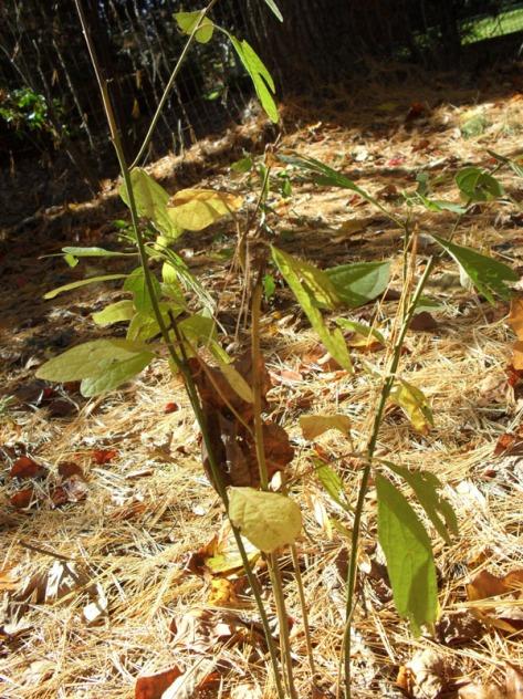 baby sassafras tree